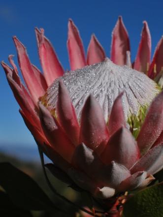 D - Pink Ice Protea Zimbabwe