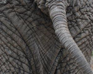 elephanttail