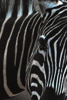 A - Unique Stripes Zebra Zimbabwe